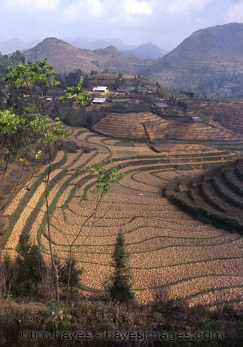 Bac Ha Rice Paddies