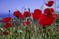 Samos Poppies